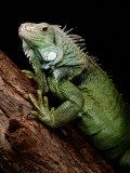 Green Iguana, Also Known as the Common Iguana Papier Photo par George Grall