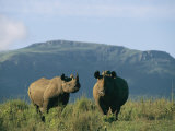 A Black Rhinoceros Cow and Her Calf