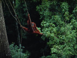 A Sub-Adult Male Orangutan Uses Vines to Swing from Tree to Tree
