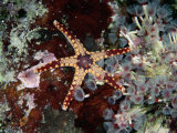 A Starfish Amid a Cluster of Tubeworms