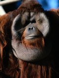 A Portrait of a Captive Orangutan