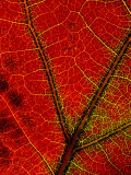A Close View of the Veins of a Colorful Maple Leaf in Autumn