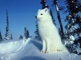 Arctic Fox Papier Photo par Norbert Rosing