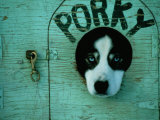 Porky the Dog