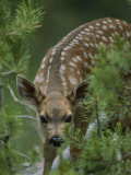 A Mule Deer Fawn Peeks Through Branches of an Evergreen Tree
