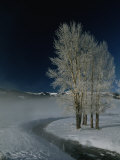 Frosty Cottonwood Trees Standing Near a Steamy Creek in Snowy Scene