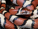Extreme Close-up of a Milk Snake in the Dry Season