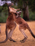 Two Kangaroos Spar with One Another