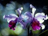 Orchidées Papier Photo par Medford Taylor