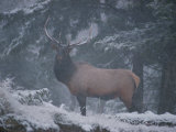 A Magnificent Bull Elk Stands Amidst the Snow