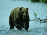 A Kodiak Brown Bear Emerges from the Water