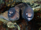 A Close-View of a Pair of Moray Eels Papier Photo par Wolcott Henry