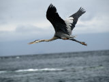 A Great Blue Heron Flying over the Ocean