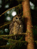 Female Northern Spotted Owl in an Old Growth Forest Area