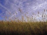 A Grassland Scene in Victoria