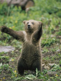 A Grizzly Bear Cub Stands with Arms Outstretched