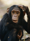 One of the Many Chimpanzees Studied by Jane Goodall at Gombe Stream National Park Papier Photo par Kenneth Love