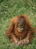 A Captive Juvenile Orangutan Sits in the Grass