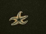 An Ochre Sea Star Lies on Black Sand