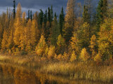 Autumn Colors are Displayed in the Sedges and Tamarack Trees