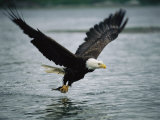 An American Bald Eagle Grabs a Fish in its Talons