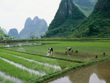 Planting Rice with Limestone Karst Mountains in the Background Near Guilin