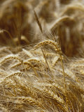 A Close View of a Wheat Plant