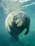 A Portrait of a Florida Manatee