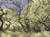 Oak Trees Stretch Gnarled Branches Skyward