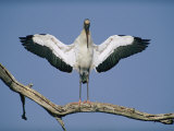 A Wood Stork Spreads its Wings