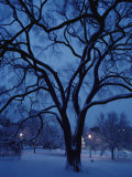 Huge Snow-Covered Tree in Boston Common  the Oldest Public Park in the United States