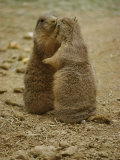National Zoo Prairie Dogs Show Affection by Kissing