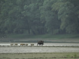 Wild Boar and her Piglets Running along a River Bank