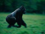 A Western Lowland Gorilla (Gorilla Gorilla Gorilla) Sprinting Through a Field