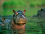 A Hippopotamus Pokes its Head out of the Water While Swimming with Other Hippos