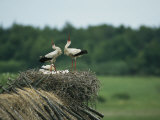 White Storks Displaying in Their Nest with Chicks
