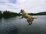 A Yellow Labrador Retriever Jumps into a Lake
