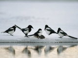A Group of Magpies Gathered Around a Fish Carcass