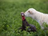 A Katahdin Lamb Gives a Bronze Turkey a Kiss on a Farm in Kansas