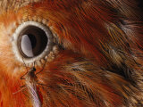 A Culex Mosquito Near the Eye of an Iiwi Bird