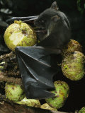 A Native Species  the Musky Fruit Bat Feeds on Figs