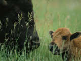 Close View of an American Bison and her Calf