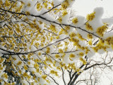 Fluffy Snow Clings to the Yellow Branches of a Flowering Forsythia Bush