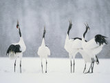 Red Crowned Crane (Grus Japonensis) Courtship Dance  Hokkaido  Japan