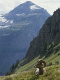A Bighorn Sheep Ram  Ovis Canadensis  Rests in an Alpine Meadow