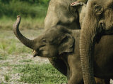 A Baby Asian Elephant and Adult Members of its Group