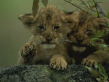 Two African Lion Cubs Chew on a Stick