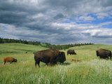 Bison and Their Calves Graze in Custer State Park