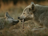 Gray Wolf Pup Begs an Adult for a Bone to Chew