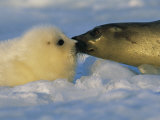 A Mother Harp Seal Sniffs Her Pup for Instant Recognition